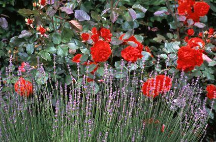 eine pflanzung von lavendel und rosen sieht nichtnur gut aus sondern ist auch schutz gegen. Black Bedroom Furniture Sets. Home Design Ideas